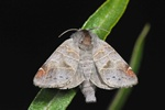 Small Chocolate-tip (Clostera pigra) photo