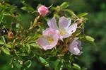 Small-flowered Sweet-briar (Rosa micrantha) photo
