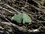 Small Grass Emerald (Chlorissa viridata) photo