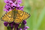 Small Pearl-bordered Fritillary (Clossiana selene) photo
