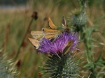 Small Skipper (Thymelicus sylvestris) photo