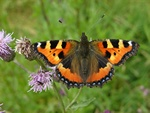Small Tortoiseshell (Aglais urticae) photo