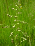 Smooth Meadow-Grass (Poa pratensis) photo