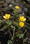 Snow Buttercup (Ranunculus nivalis) photo