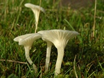 Snowy Waxcap (Hygrocybe virginea) photo