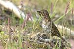 Song Thrush (Turdus philomelos) photo