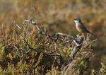 Spectacled Warbler (Sylvia conspicillata ssp. orbitalis) photo