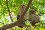 Spotted wood owl (Strix seloputo) photo