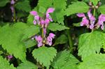 Spottet Deadnettle (Lamium maculatum) photo