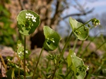 Spring Beaty (Claytonia perfoliata) photo