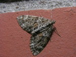 Spruce Carpet (Thera variata) photo