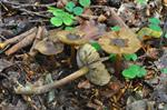 Star Fibrecap (Inocybe asterospora) photo