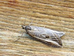 Streak (Chesias legatella) photo