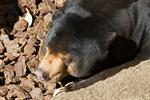 Sun bear (Helarctos malayanus) photo
