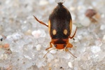Suphrodytes dorsalis photo