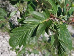Swedish Service Tree (Sorbus hybrida) photo