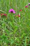 Sweet William (Dianthus barbatus) photo