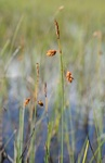 Tall Bog-Sedge (Carex magellanica) photo