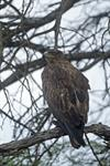 Tawny Eagle (Aquila rapax) photo
