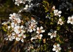 Tea tree (Leptospermum langigerum) photo