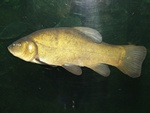 Tench (Tinca tinca) photo