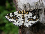 The Magpie (Abraxas grossulariata) photo