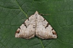 The V-Moth (Macaria wauaria) photo