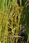 Threeway sedge (Dulichium arundinaceum) photo
