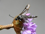 Thrift Clearwing (Synansphecia muscaeformis) photo