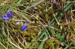 Thyme-leaved Milkwort (Polygala serpyllifolia) photo