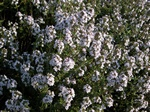 Thyme (Thymus vulgaris) photo