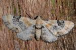 Toadflax Pug (Eupithecia linariata) photo