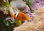 Tomato clownfish (Amphiprion frenatus) photo