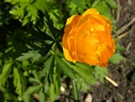 Trollius yunnanensis photo
