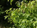 True Service Tree (Sorbus domestica) photo