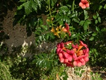 trumpet creeper (Campsis radicata) photo