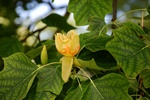 Tulip Tree (Liriodendron tulipifera) photo