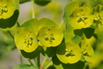 Turkish Wood Spurge (Euphorbia amygdaloides ssp. robbiae) photo