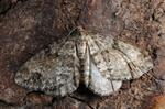 Twin-spot Carpet (Perizoma didymata) photo