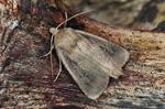 Twin-spotted Wainscot (Archanara geminipuncta) photo