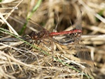 Vagrant Darter (Sympetrum vulgatum) photo