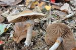 Variable Webcap (Cortinarius anomalus) photo