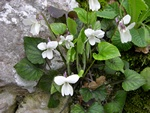 Viola alba ssp. scotophylla photo
