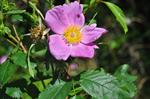 Virginian Rose (Rosa virginiana) photo