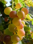 Vitis vinifera (Vanessa) photo
