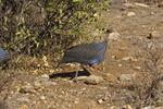 Vulturine Guineafowl (Acryllium vulturinum) photo