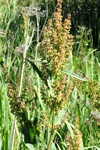 Water Dock (Rumex hydrolapathum) photo