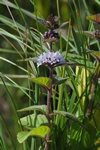 Water Mint (Mentha aquatica x arvensis) photo