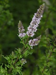 Water Mint (Mentha crispata) photo