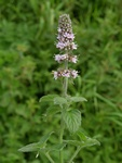 Water Mint (Mentha longifolia x spicata) photo